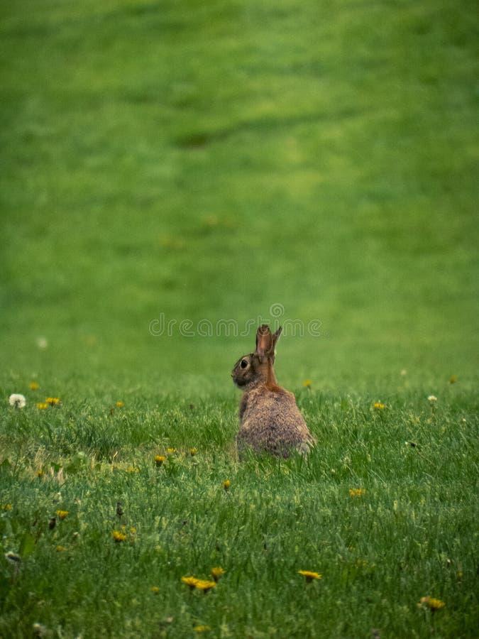 Wschodniego Cottontail królik w polu z Dandelions obrazy royalty free