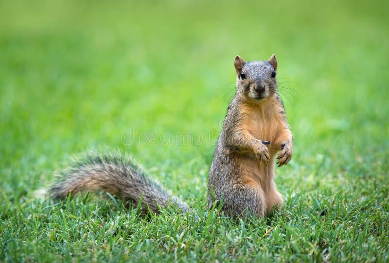 Wschodniego Fox wiewiórka w ogródzie (Sciurus Niger) zdjęcie stock