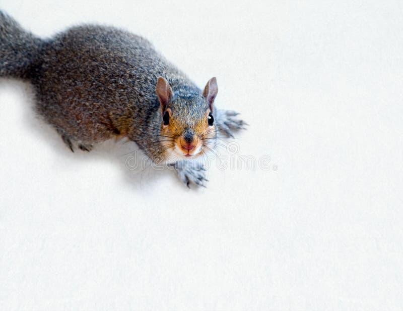 wschodniego grey wiewiórka zdjęcie royalty free