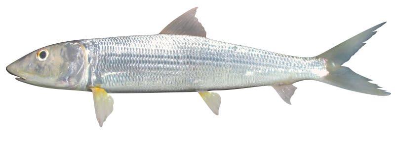 Wschodniego Pacyfik Bonefish royalty ilustracja