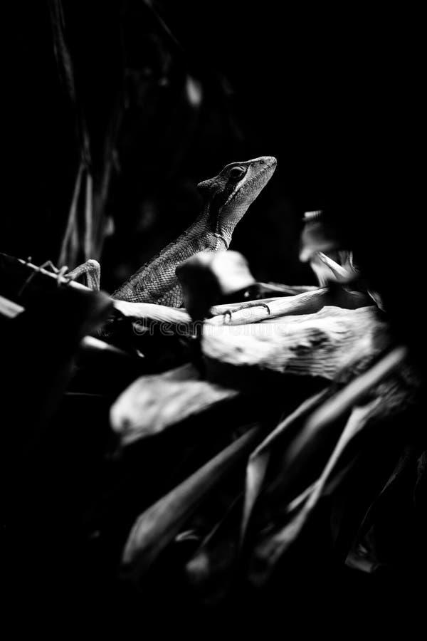 Wschodniej iguany zwierząt czarny i biały portrety fotografia royalty free