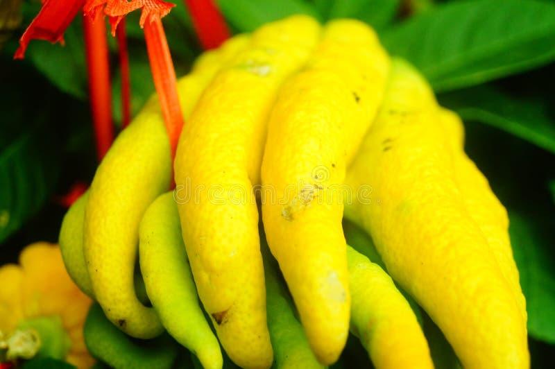 Wskazany palcem cedrat owoc spojrzenia jak palce Bardzo interesting〠' zdjęcie royalty free