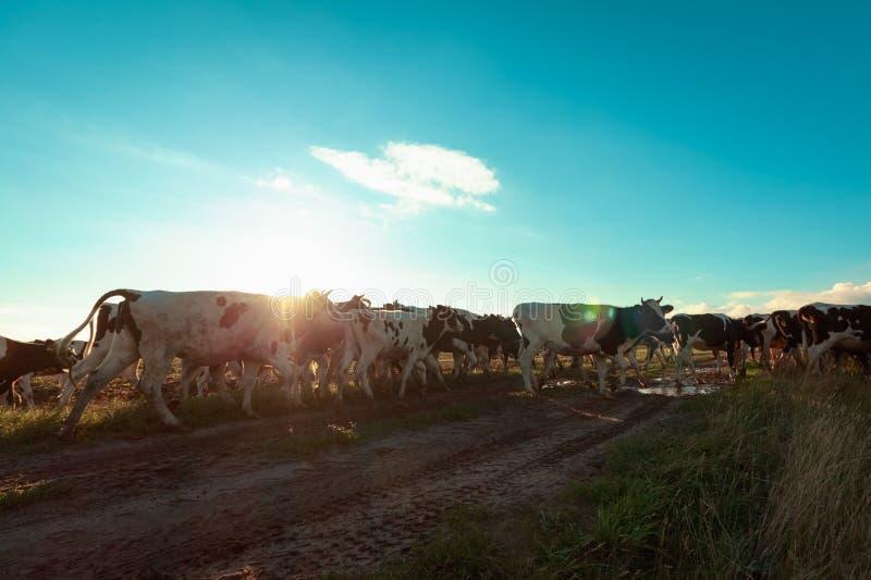 Wspólny stado krowy na drodze w backlit fotografia stock