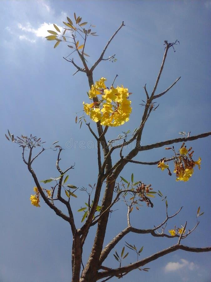 Wspaniały kolor żółty Kwitnie Na Dużym drzewie zdjęcie stock