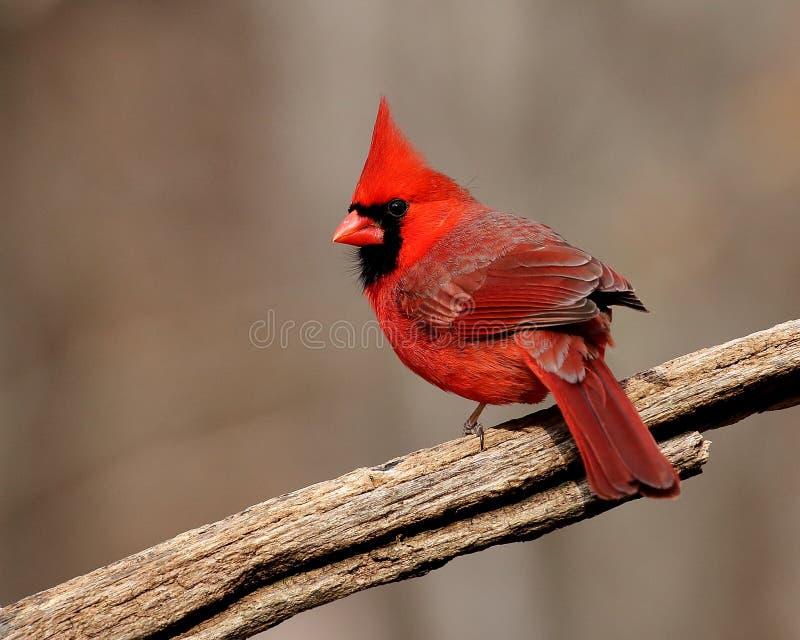 Wspaniały męski północny kardynał fotografia royalty free