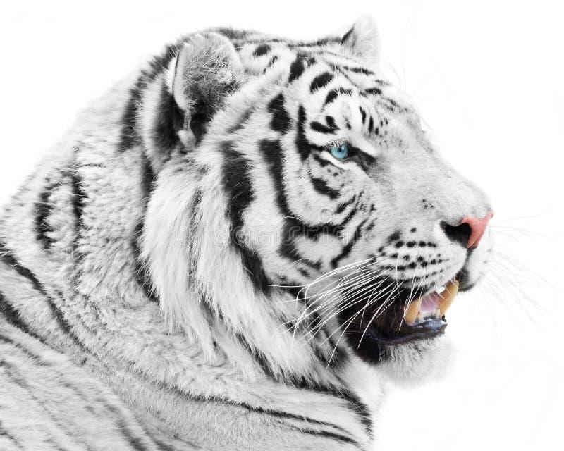 Wspaniała biała bestia zdjęcia stock