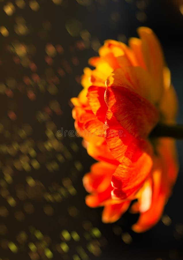 Wspaniała czerwień, kolor żółty, pomarańczowy tulipan, kwitnie w ogródzie na tle z zadziwiającym bokeh Kolorowy kwiat w jaskrawym zdjęcia royalty free