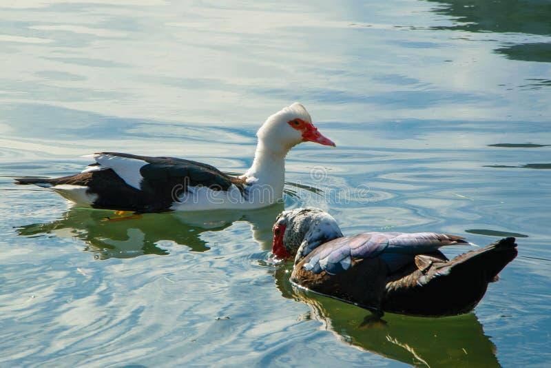 Wspaniała Muscovy kaczka w spokojnej wodzie obraz royalty free