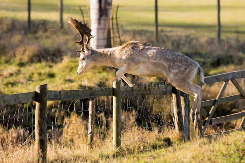 Wspaniała ugoru rogacza samiec - Dama dama, skacze nad ogrodzeniem fotografia royalty free