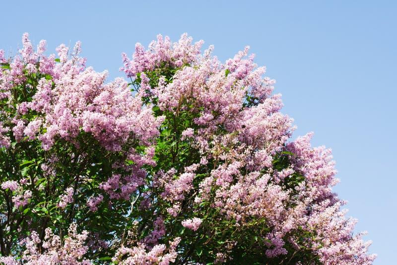 wspaniałe drzewo liliowego obrazy royalty free