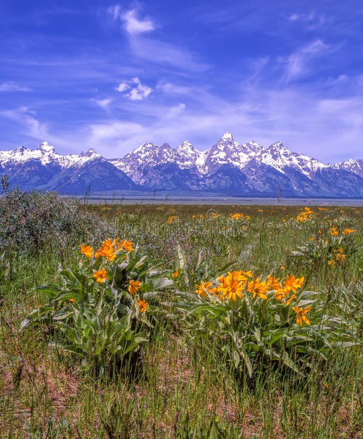 Wspaniałe Teton góry i wiosna kwiaty obraz stock