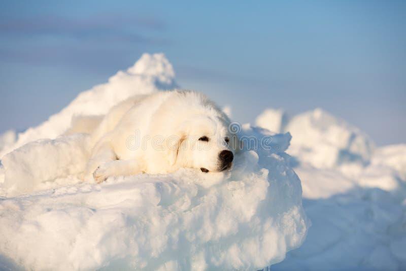 Wspania?ego i smutnego maremmano abruzzese psi lying on the beach na lodowym floe i ?nieg na zamarzni?tym dennym tle zdjęcia royalty free