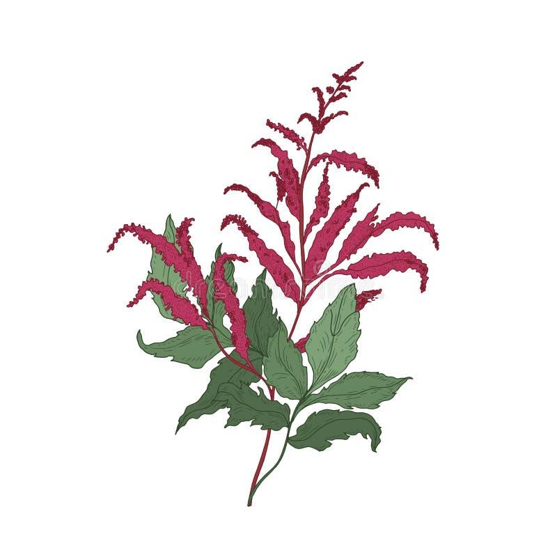 Wspaniały Astilbe lub Fałszywy kózki s brody kwitnienie kwitniemy i liście wręczają patroszonego na białym tle Elegancki naturaln ilustracja wektor