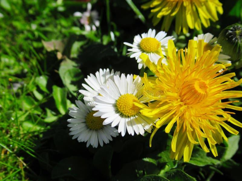 Wspaniały Atrakcyjny Pospolitej stokrotki I Dandelion kwiatów okwitnięcie W wiośnie 2019 zdjęcie royalty free