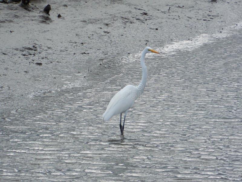 Wspaniały Biały Wodnego ptaka karmienie Na ryba obraz royalty free