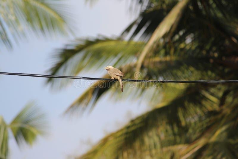Wspaniały dżungla na lince linowej Ptak ma piękne błyszczące oczy, mały dziób i gruby długi ogon zdjęcie stock