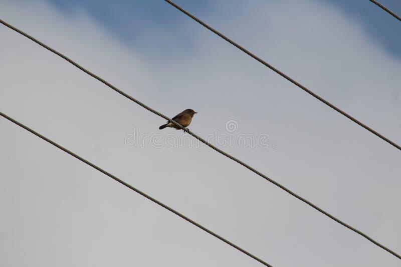 Wspaniały dom na lince linowej Ptak ma piękne, błyszczące oczy, mały dziób i cienki, krótki ogon fotografia stock