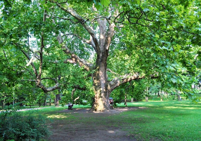 Wspaniały drzewo przy Margaret wyspą - park w Środkowym Budapest obrazy royalty free