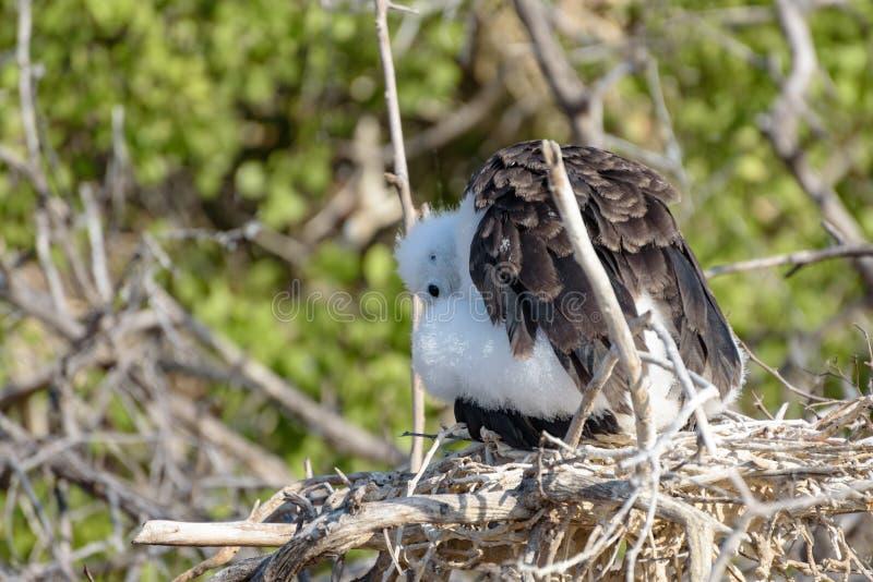 Wspaniały Frigatebird kurczątko w gniazdowych Fregata magnificens, Północny Seymour, Galapagos wyspa, Ekwador, Ameryka Południowa zdjęcie stock