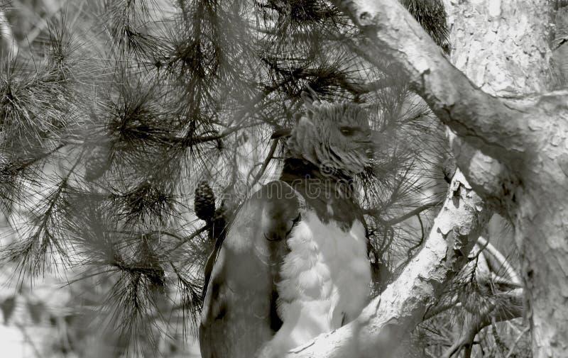 Wspaniały Harpy Eagle obrazy royalty free