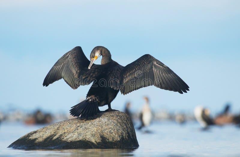 wspaniały kormoranów zdjęcie stock