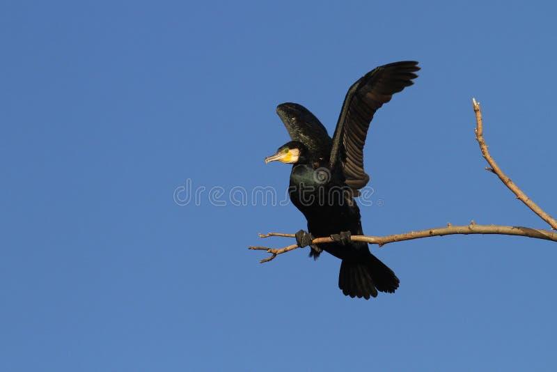 wspaniały kormoranów obraz royalty free