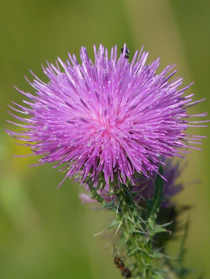 Wspaniały kwiat Cárduus Fio?kowy oset zdjęcie stock
