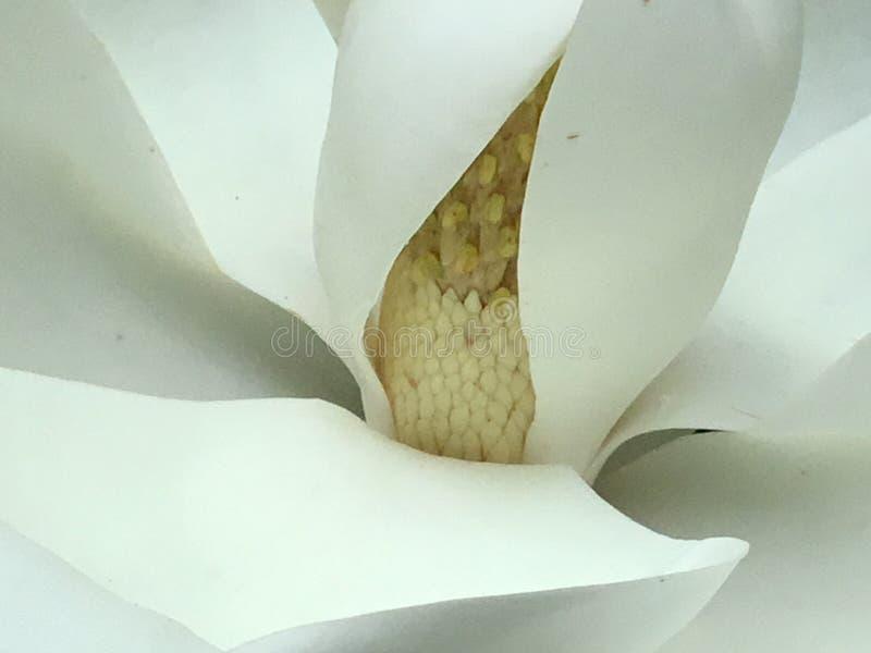 Wspaniały magnoliowy drzewny kwiat w Anne Arundel okręgu administracyjnym w Maryland fotografia stock