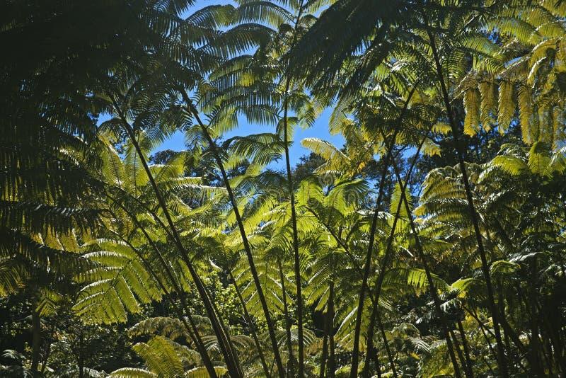 Wspaniały paprociowy las, Hawaje fotografia royalty free