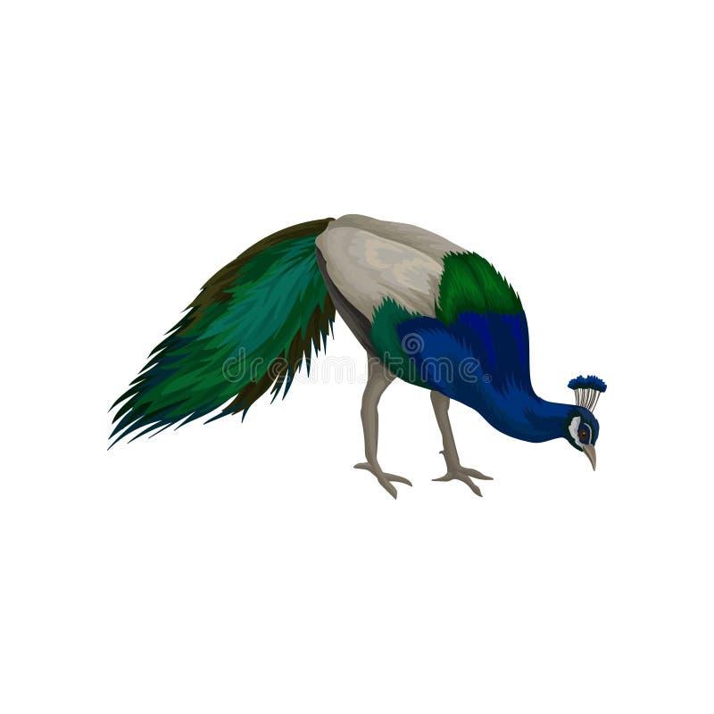 Wspaniały paw z błękitnych, szarość i zieleni piórkami, Dziki ptak z długim ogonem Szczegółowy płaski wektorowy projekt dla plaka ilustracji