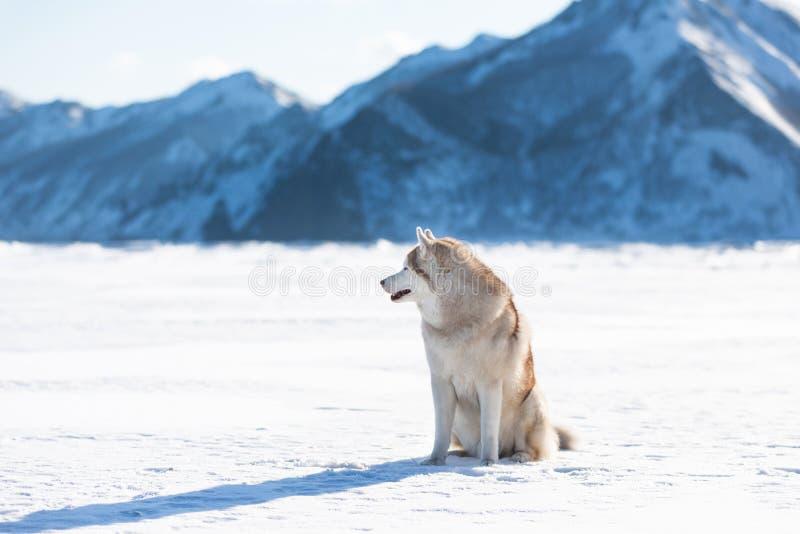 Wspaniały Syberyjskiego husky psa obsiadanie na lodowym floe na zamarzniętym Okhotsk śniegu i morzu nakrywał peak&-x27; s tło obraz royalty free
