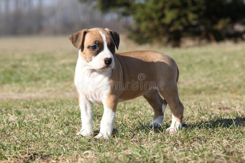 Wspaniały szczeniak Staffordshire Terrier pozycja fotografia stock