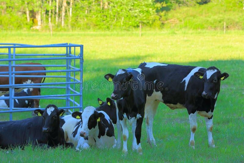 Wspaniały widok śliczna krowy grupa odpoczywa na zielonej trawy paśnika polu Piękny zwierzęcy tło Uppsala, obrazy royalty free