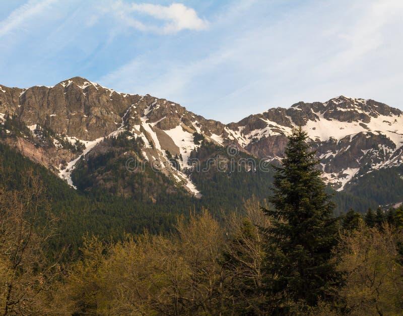 Wspaniały widok halny roztapiający śnieg w wiosny samotnym drzewie lesie i zdjęcia stock