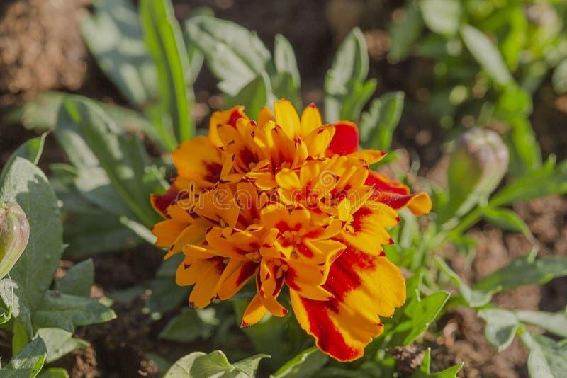 Wspaniały widok pomarańczowy chryzantema kwiat odizolowywający fotografia stock