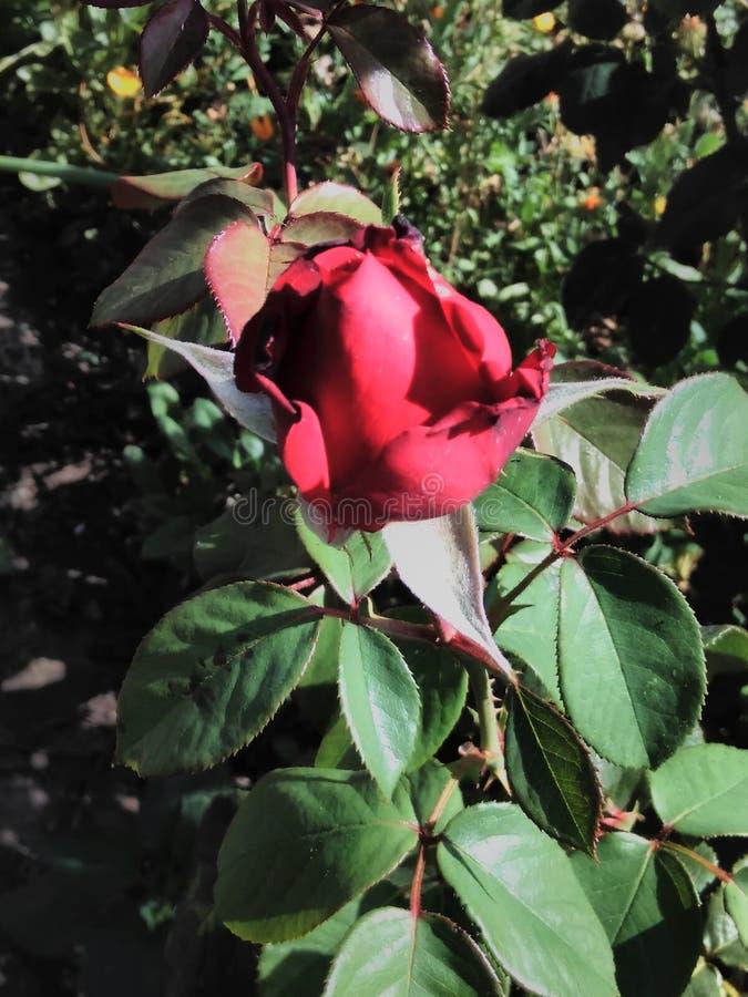 Wspaniały wzrastał w ogródzie, pączek, wzrastał, piękny, czerwony, kwiat, lato, dzień, ogrodnictwo, płatki, liście fotografia royalty free