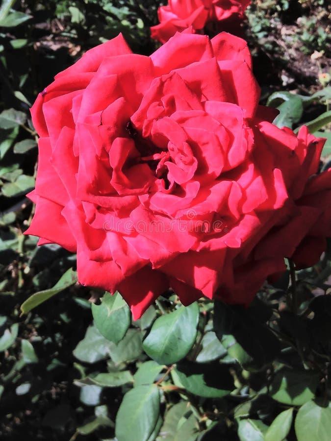 Wspaniały wzrastał w ogródzie, pączek, wzrastał, piękny, czerwony, kwiat, lato, dzień, ogrodnictwo, płatki, liście zdjęcie royalty free