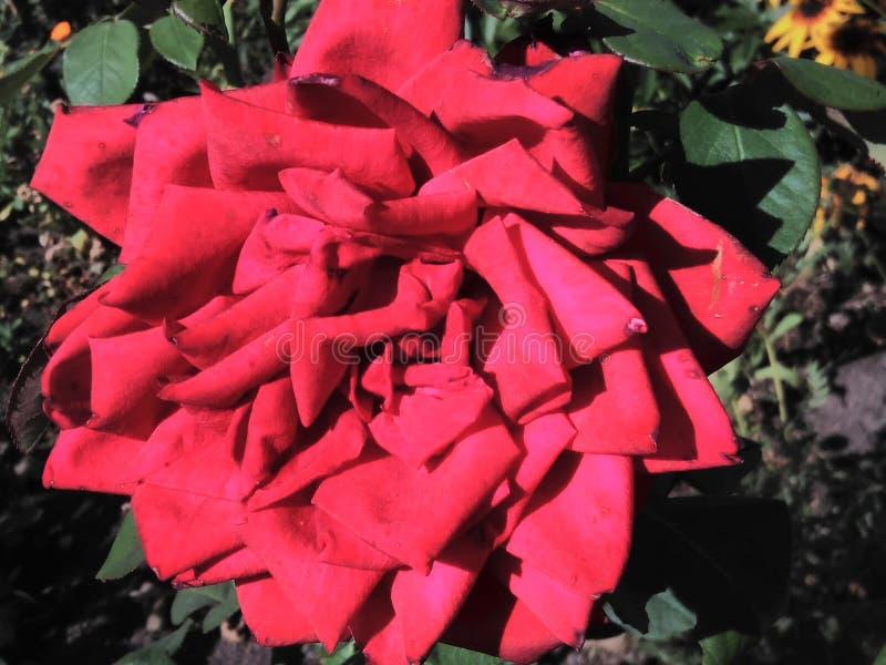 Wspaniały wzrastał w ogródzie, pączek, wzrastał, piękny, czerwony, kwiat, lato, dzień, ogrodnictwo, płatki, liście obrazy royalty free