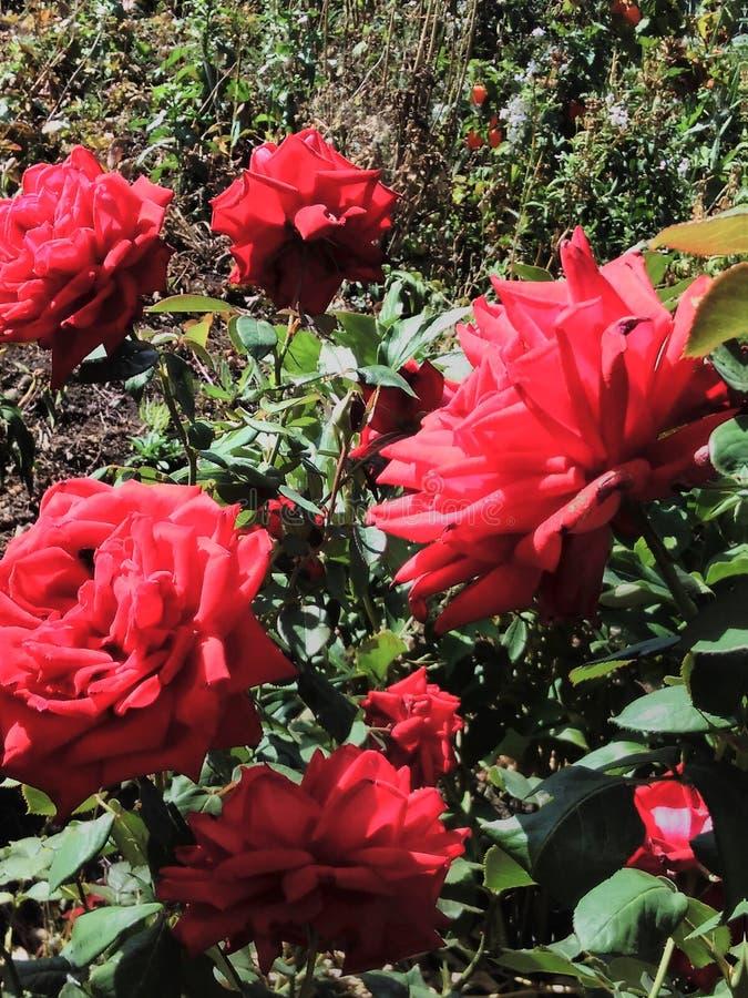 Wspaniały wzrastał w ogródzie, pączek, wzrastał, piękny, czerwony, kwiat, lato, dzień, ogrodnictwo, płatki, liście zdjęcia royalty free