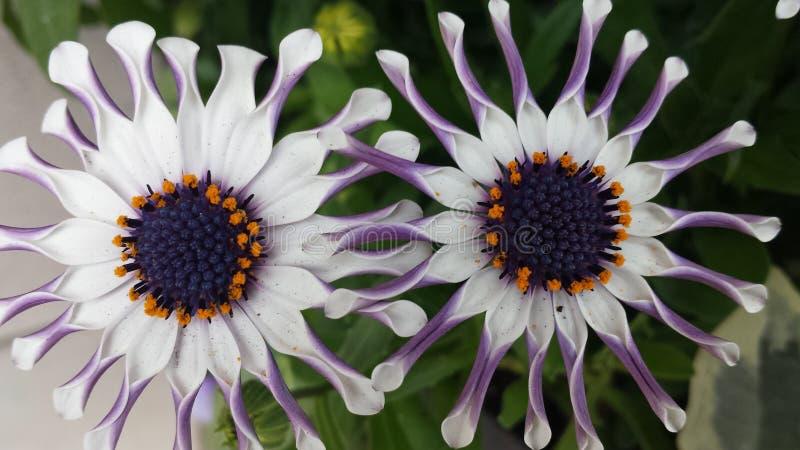Wspaniali biali kwiaty fotografia stock