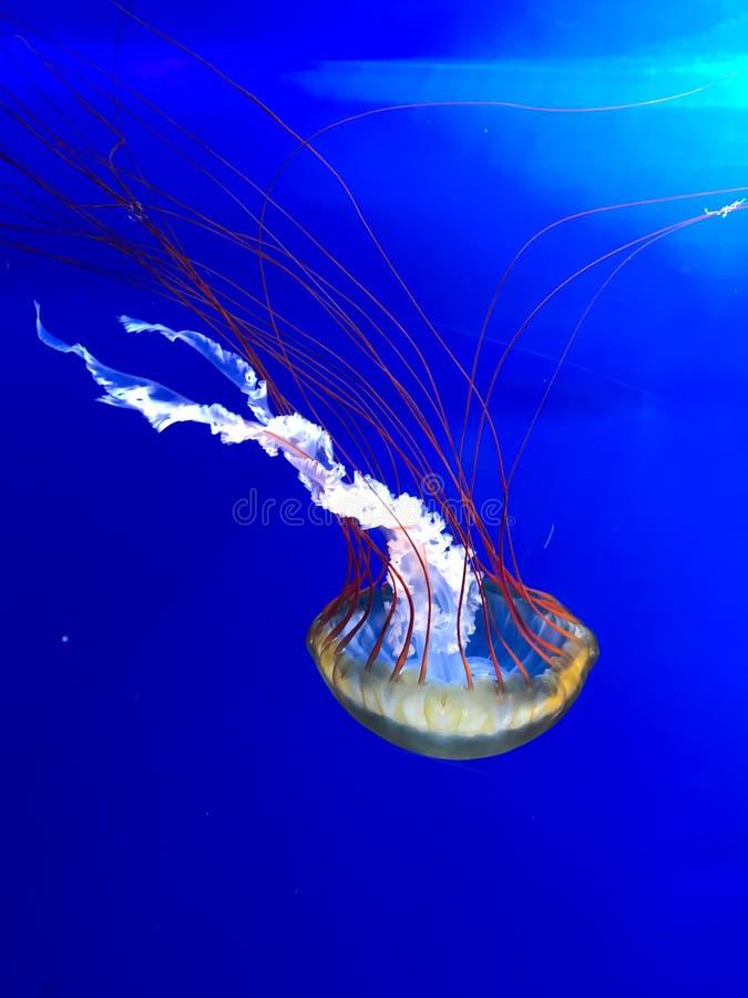 Wspaniali czerwoni i żółci jellyfish w akwarium przy przyrodą parkują Pairi Daiza w Brugelette, Belgia obrazy stock
