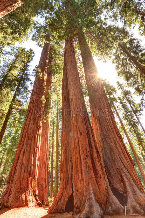 Wspaniali gigantycznej sekwoi drzewa, sekwoja park narodowy, California fotografia royalty free