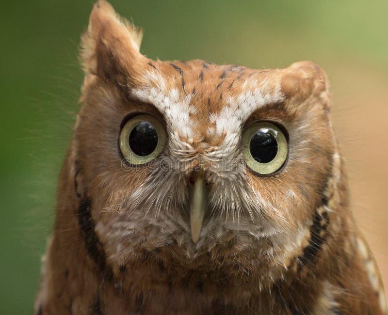 Wspaniali oczy sowa fotografia royalty free