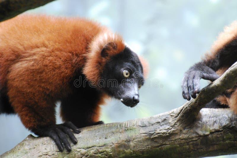 Wspinaczkowy Czerwony Ruffed lemur na Spadać beli zdjęcie royalty free