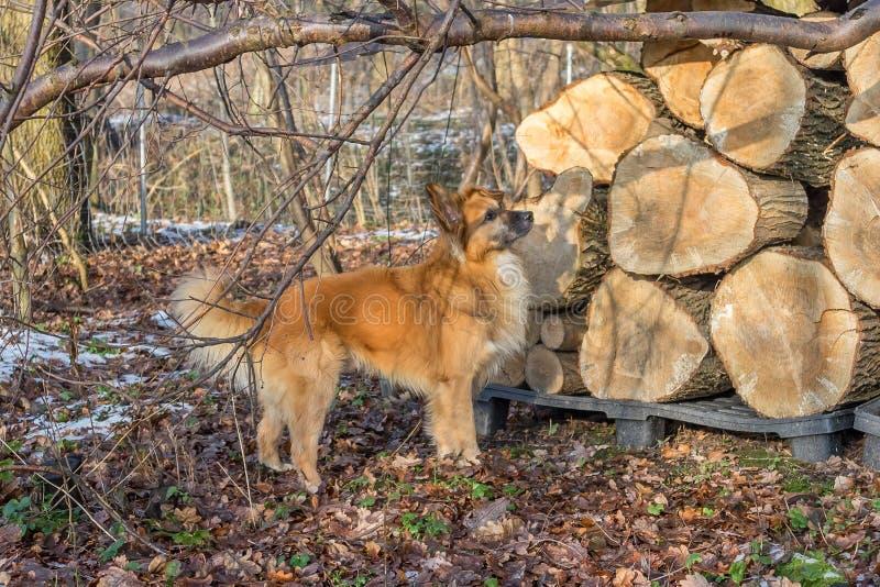 Wtching-Hund vor Holzstapel des alten Weidenbaums stockfotos