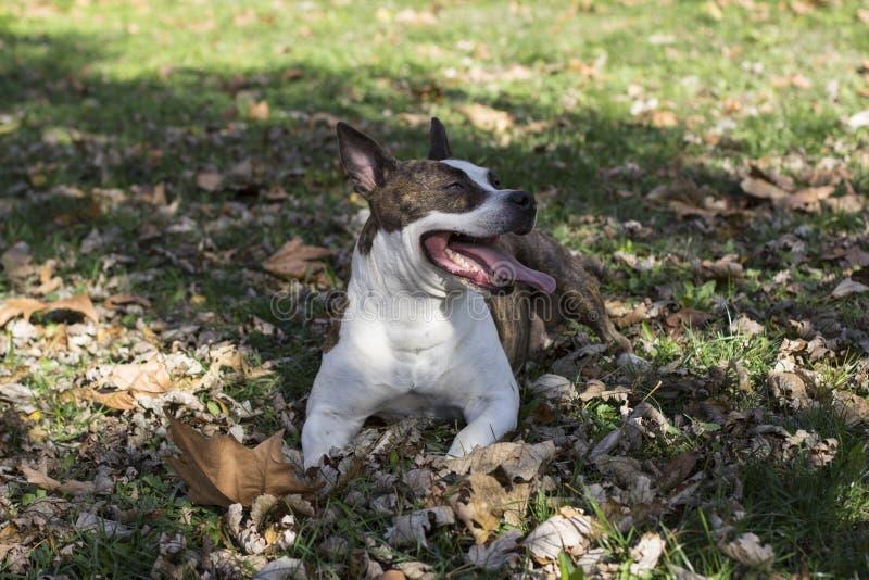 Wtykać out jęzoru psiego lying on the beach w trawie obraz royalty free