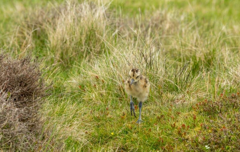 Wulpkuiken in de Dallen van Yorkshire, het UK tijdens de Lente royalty-vrije stock foto