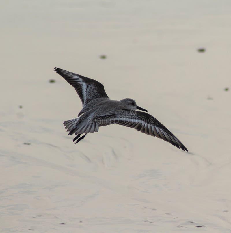 Wulpstrandloper, Calidris-ferruginea, op strand stock fotografie