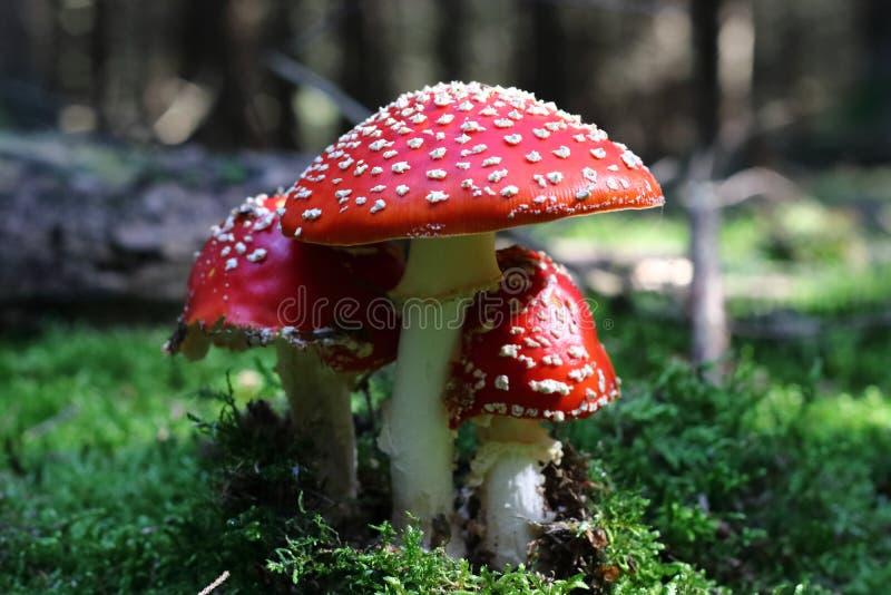 Wulstling muscaria - Pilz mit einem Gift stockfoto
