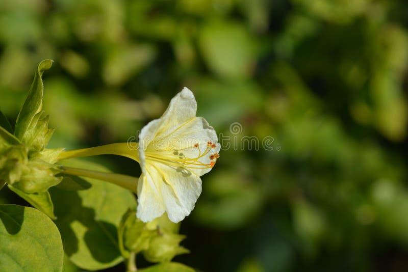 Wunder von Peru Lutea lizenzfreie stockfotografie
